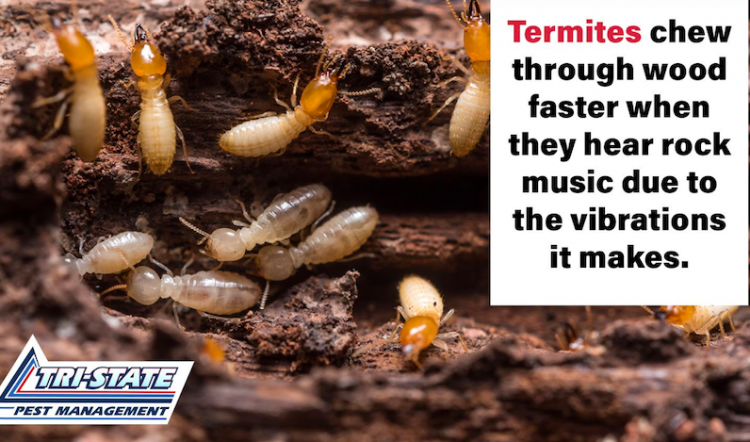How to Prevent Damage From Subterranean Termites